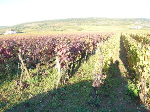 ピノノワールのぶどう畑とシャルドネのぶどう畑
