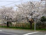矢田新町の桜の見所より