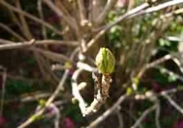 紫陽花の芽