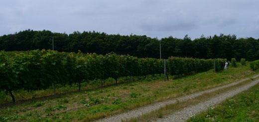 7月の能登ワインぶどう畑