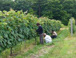 能登ワイン畑2
