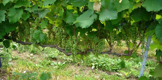 能登ワイン畑4