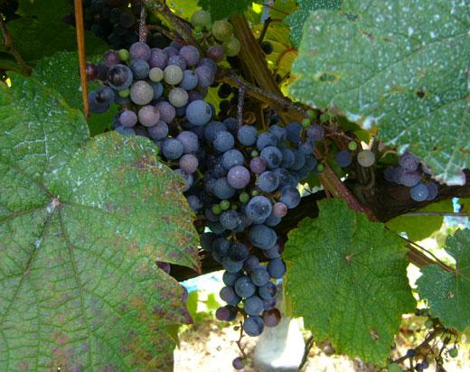 8月の能登ワインの畑のぶどう