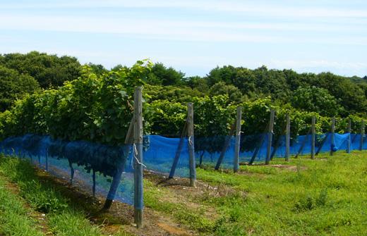防鳥ネットがつけられた能登ワインの畑