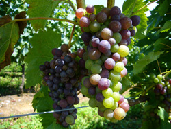 8月の能登ワイン畑のぶどう