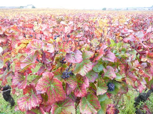 ブルゴーニュ秋のぶどう畑