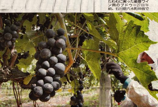 能登ワイン収穫開始