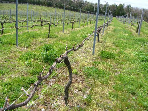 4月の能登ワインの畑から