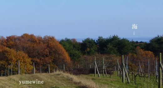 能登ワインの畑から見えた海