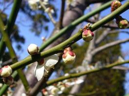西田酒店に咲いている梅
