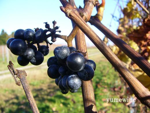 能登ワインの畑のぶどう