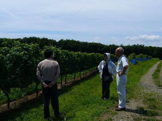 8月の能登ワインのぶどう畑