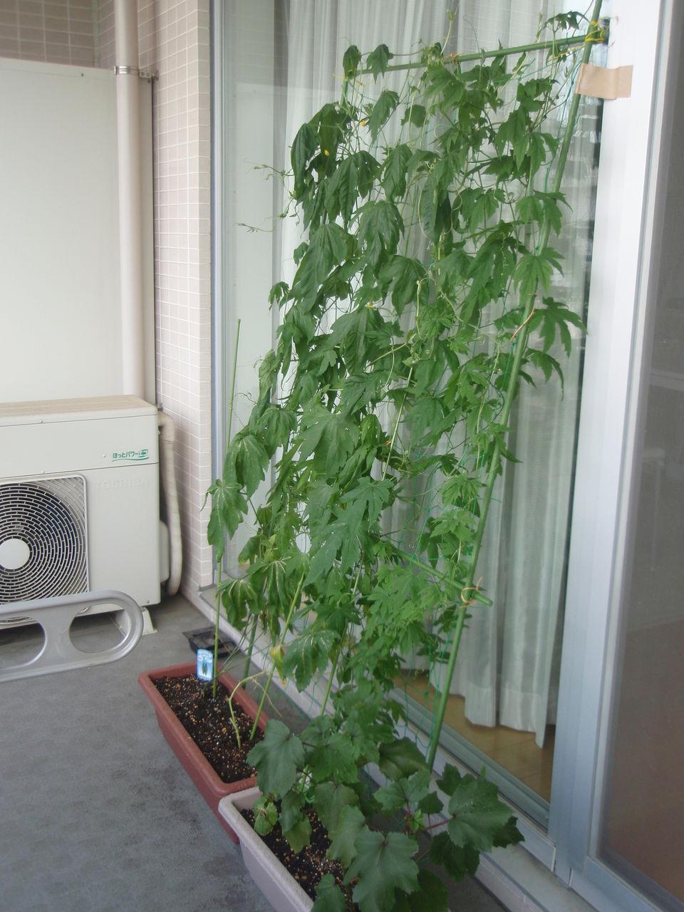 ゴーヤ 育て 方 ゴーヤの種まき方法をご紹介!発芽させる時期や温度と育て方のコツを...
