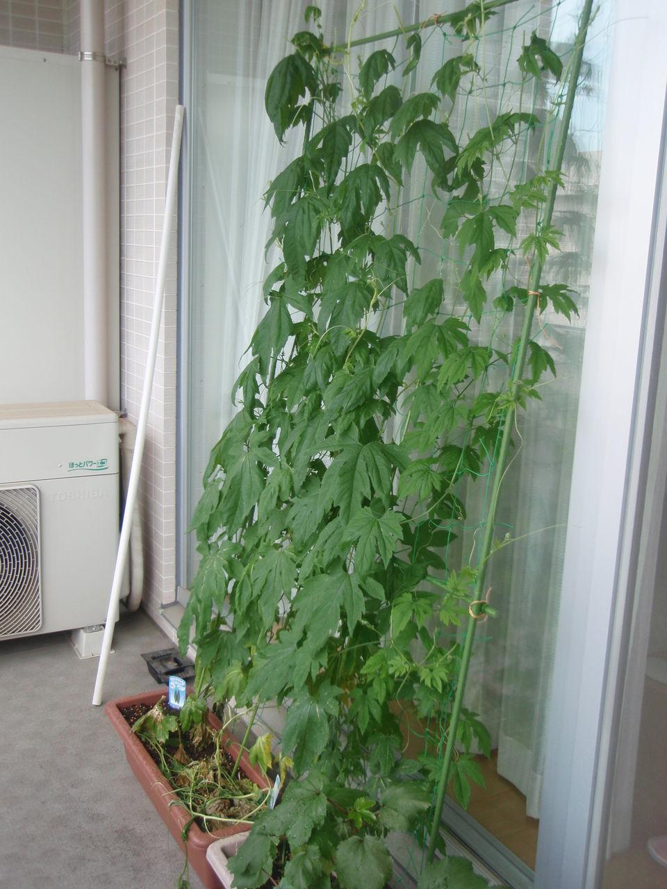 ゴーヤ 育て 方 ゴーヤの育て方|種や苗での栽培、摘心、肥料の方法は?