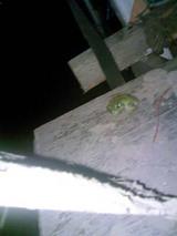 夜のカエル