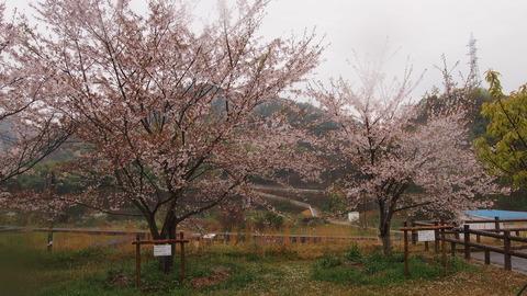 竹原桜1 (14)