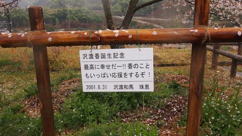 竹原桜1 (15)