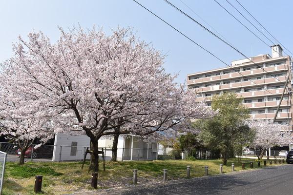 桜めぐり唐津2 (2)