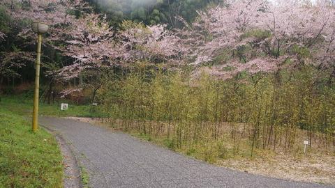 竹原桜1 (24)
