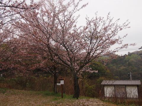 竹原桜1 (36)