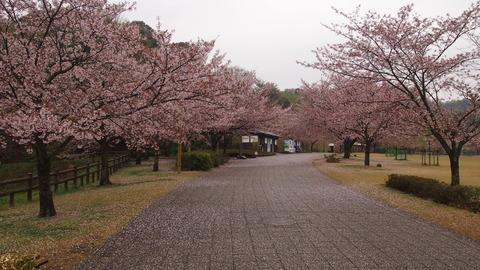 竹原桜1 (12)