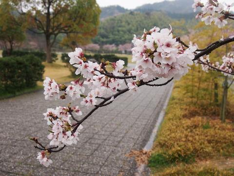 竹原桜1 (21)