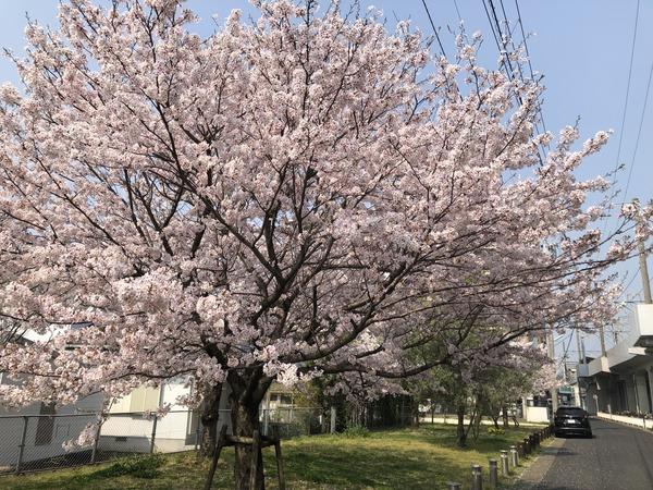 桜めぐり唐津2 (19)