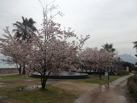 竹原桜1 (2)