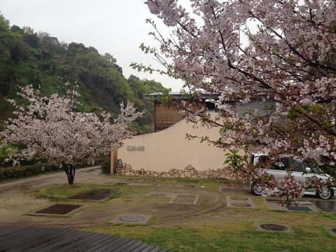 竹原桜1 (4)