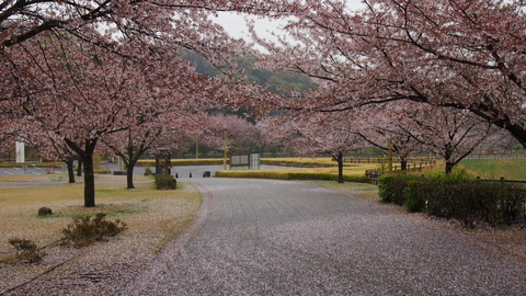 竹原桜1 (31)