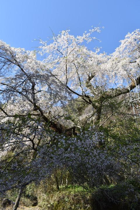 守静坊の枝垂れ桜 (2)