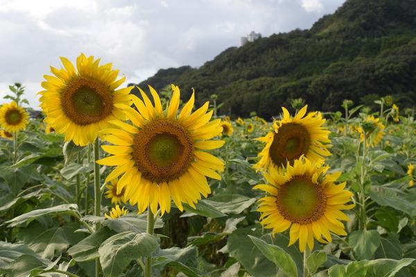 原鶴向日葵 (6)
