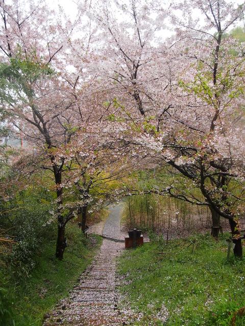 竹原桜1 (27)