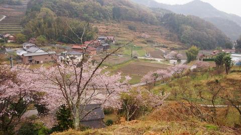 竹原桜2 (41)