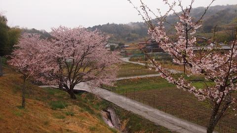 竹原桜2 (43)