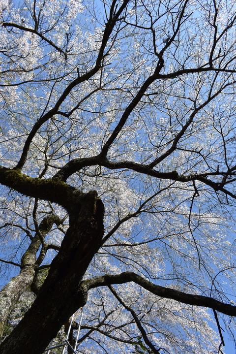 守静坊の枝垂れ桜 (5)