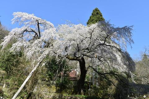 守静坊の枝垂れ桜 (3)