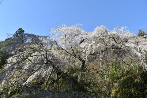 守静坊の枝垂れ桜 (6)
