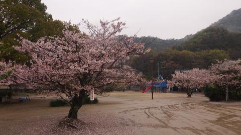 竹原桜1 (37)