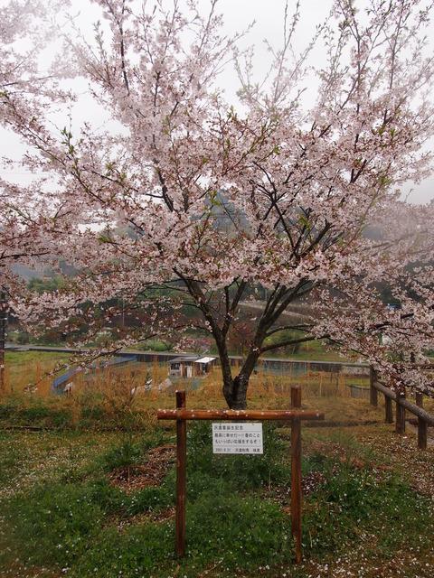 竹原桜1 (18)