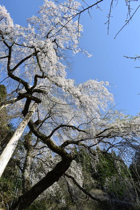 守静坊の枝垂れ桜 (4)