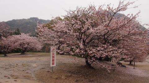 竹原桜1 (50)