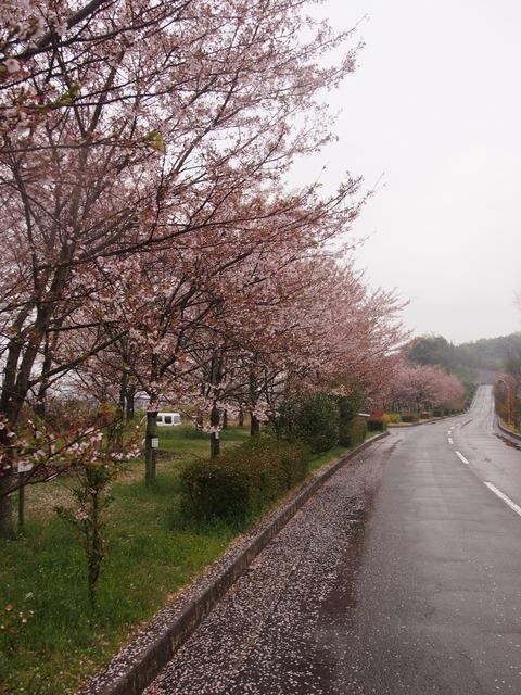 竹原桜1 (34)