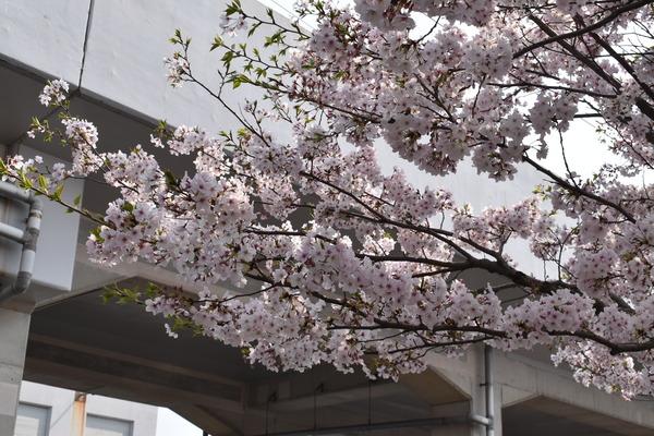 桜めぐり唐津2 (1)