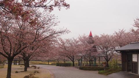 竹原桜1 (30)