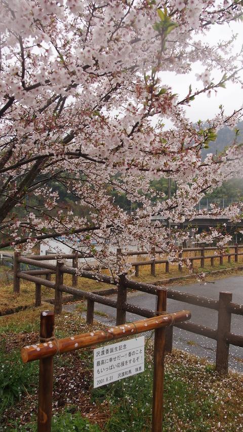 竹原桜1 (17)