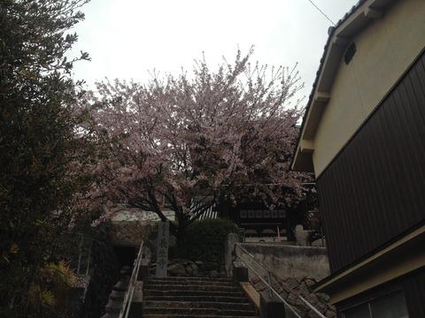 竹原桜2 (31)