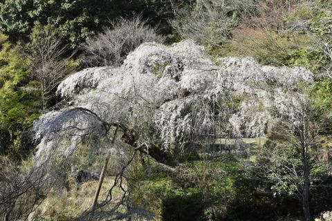 守静坊の枝垂れ桜 (7)