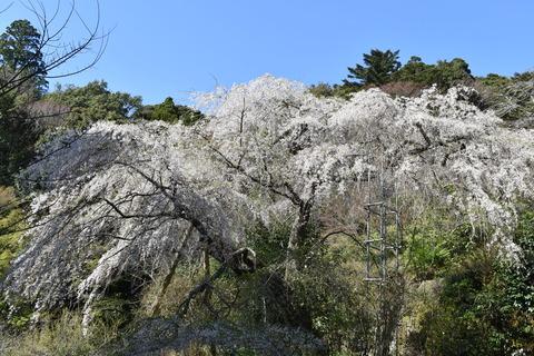 守静坊の枝垂れ桜 (1)