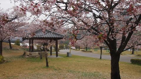 竹原桜1 (28)